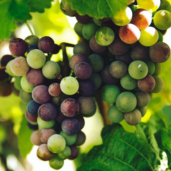 Raisin Chasselas Bio (raisin blanc)