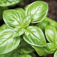 Basilic frais (mélange pourpre/vert)