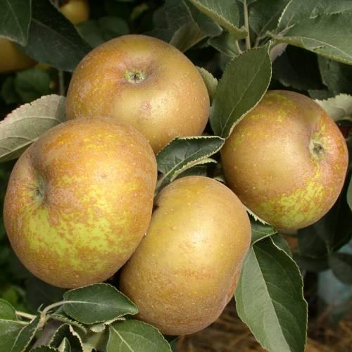 Pomme Canada grise Bio